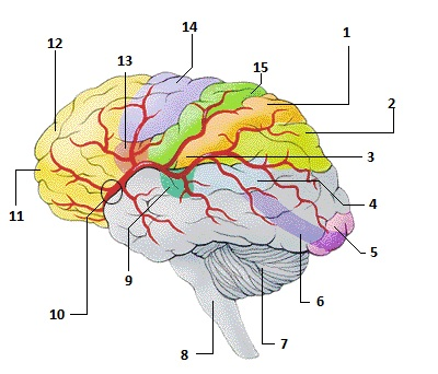 anatomy practical review Head and neck quiz select one or more category and press start quiz to begin arteries (138 items) bones (39 items) brain: nerves (44 items) brain: parts of (27 items.