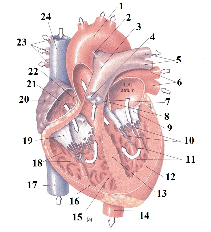 Heart Anatomy Practical Quiz